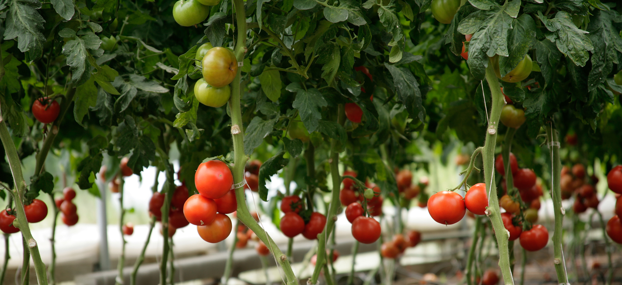 McEnroe's Organic Tomatoes Are Available from May through February